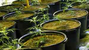 Marijuana Plants From A Marijuana Grow House Operation Bust Protect Yourself Landlord